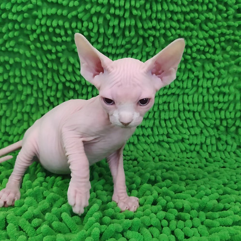 360 Michelle female Sphinx kitten