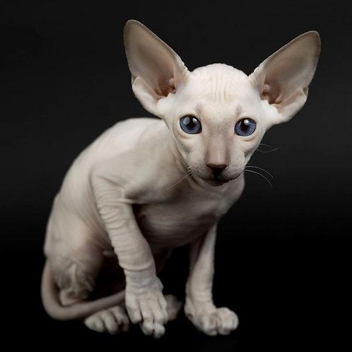 344 Diana  female Peterbald kitten