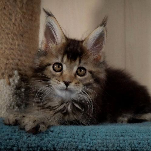 663 North Wind  Maine Coon male kitten