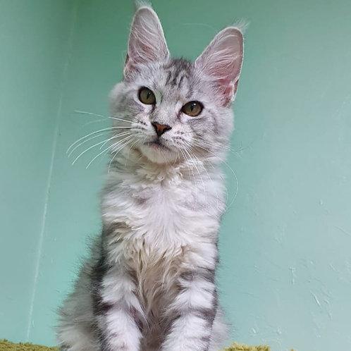 Zamira Maine Coon female kitten