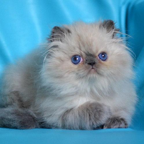 251 Tim   Persian  male kitten