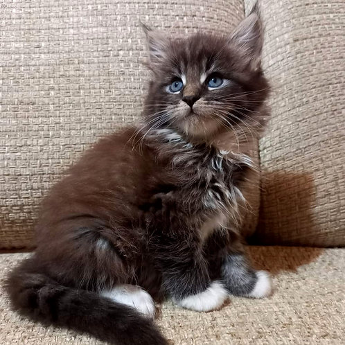 51 Freya  Maine Coon female kitten