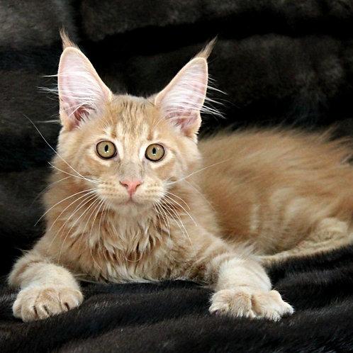 689 Garri   Maine Coon male kitten