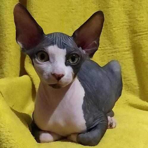 188 Kolibri  female Sphinx kitten