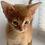 Thumbnail: 165 Fantom  purebred Abyssinian male kitten