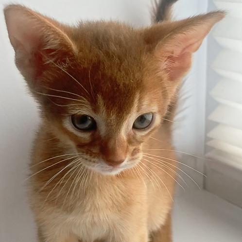 165 Fantom  purebred Abyssinian male kitten