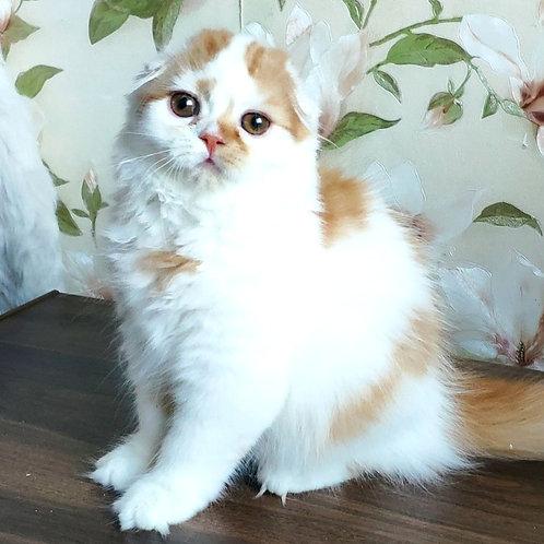 987 Van Helsing  Scottish fold longhair male kitten