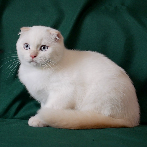 901 Glamurchik  Scottish fold shorthair male kitten