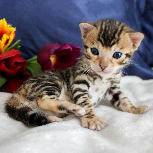 53 Gomer  purebred Bengal male kitten