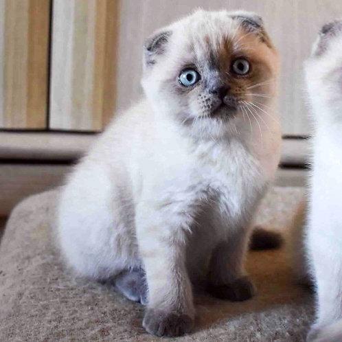 641 Ballo   Scottish fold shorthair male kitten