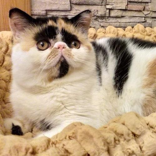 188 Fanta   Exotic  female kitten
