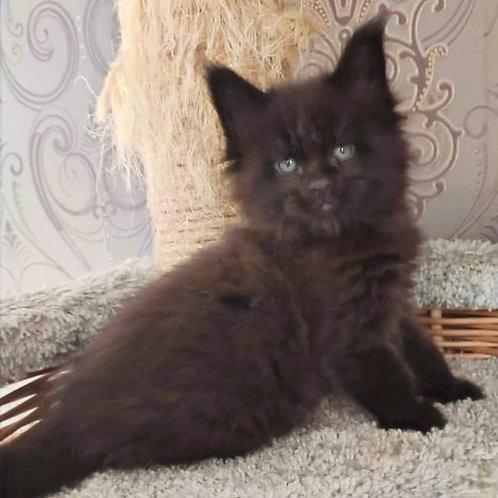 758 Yamato Maine Coon male kitten