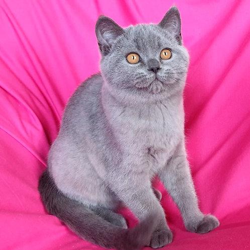 462  Monclear      Scottish straight shorthair male kitten