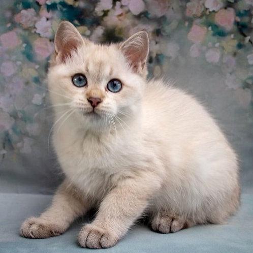 1007 Esaul  British shorthair male kitten