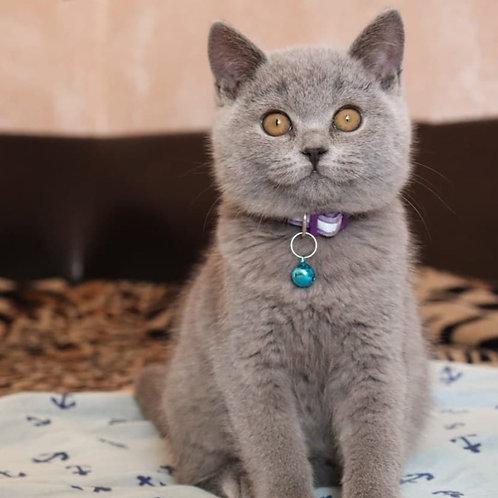 1176 Darik   British shorthair male kitten