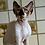 Thumbnail: 369 Gucci    male kitten Devon Rex
