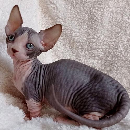 319 Centik  male Bambino  kitten