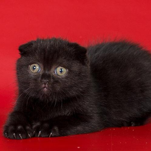 551 Udi  Scottish fold shorthair female kitten