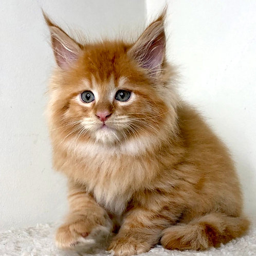 775 Dante Maine Coon male kitten