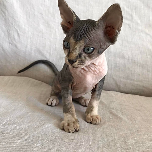 320 Armani male Sphinx kitten