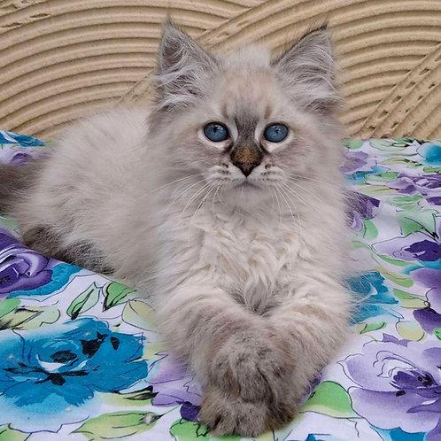 229 Milada    Siberian female kitten
