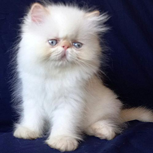 53 Clarissa    Persian female kitten