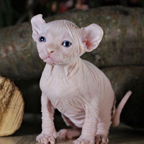 Varrior male Elf kitten
