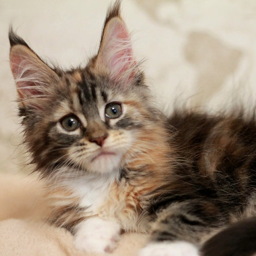 76 Imperatrice     Maine Coon female kitten
