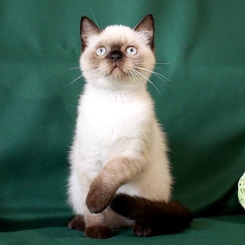900 Gangster  Scottish straight shorthair male kitten