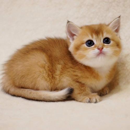 611 Luxor  British shorthair male kitten