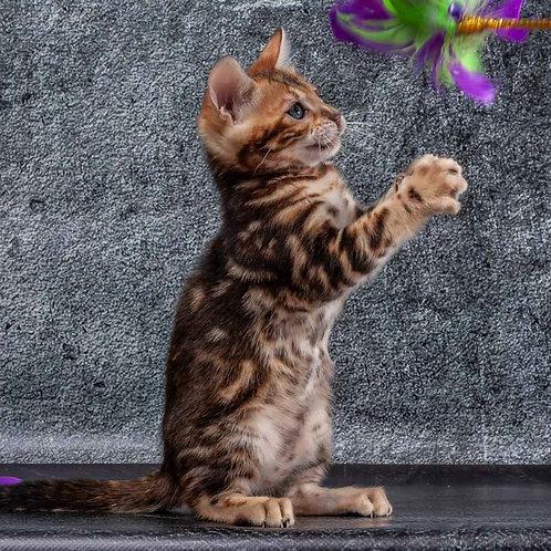 55 Kleopatra  purebred Bengal female kitten
