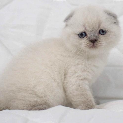 Velvet Scottish fold shorthair male kitten