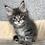Thumbnail: 847 Qashqai  Maine Coon male kitten