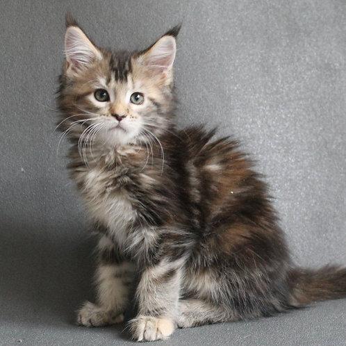 727 Kora  Maine Coon female kitten