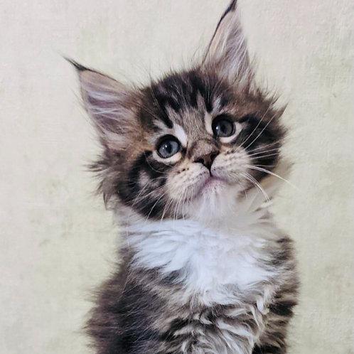 304 Kira  Maine Coon female kitten