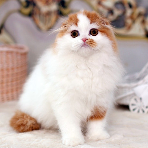 597 Zeus  Scottish fold longhair male kitten