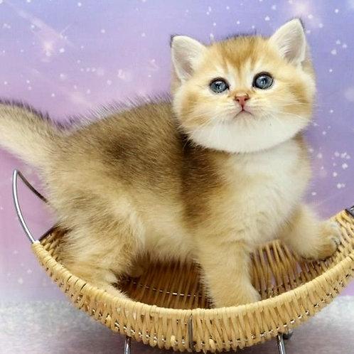 648 Avocado  British shorthair male kitten