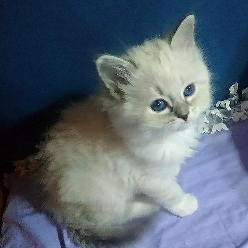 47 Talon  Siberian male kitten
