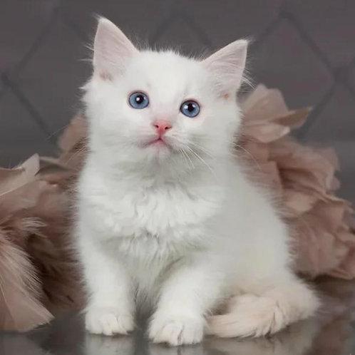 87 Brie    Ragdoll male kitten