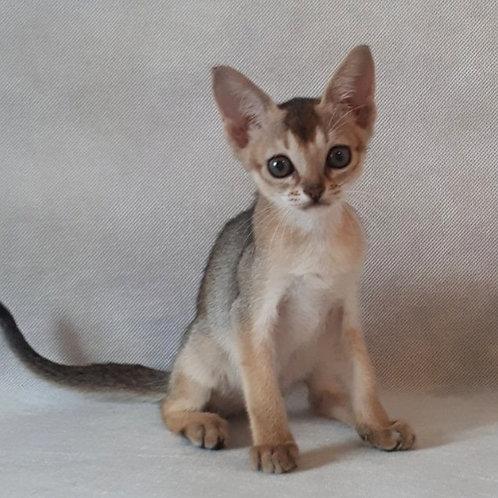 89 Bebby   purebred Abyssinian female kitten