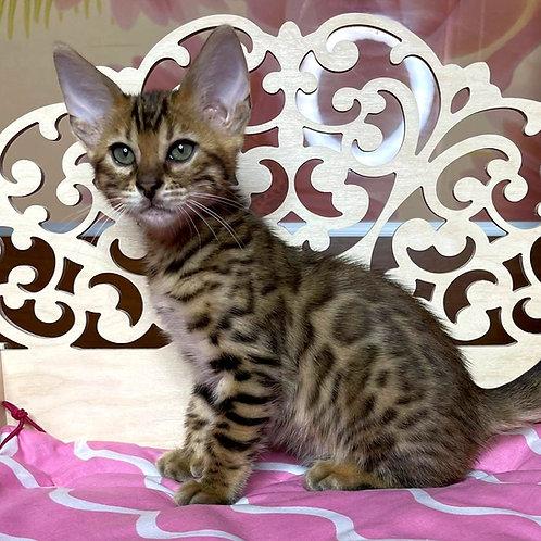 253 Olli  purebred Bengal female kitten