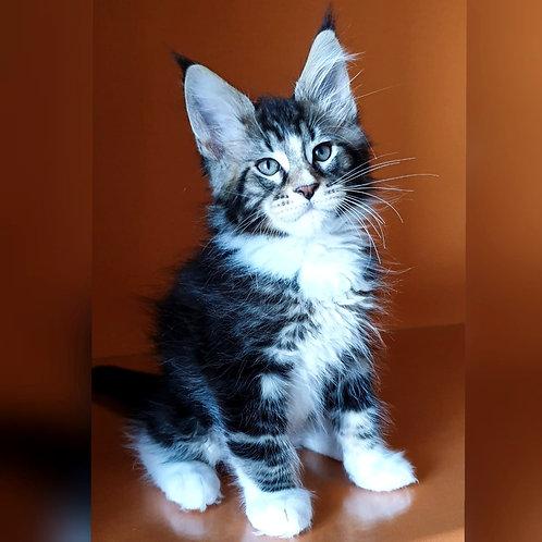 518 Willy Wonka Maine Coon male kitten