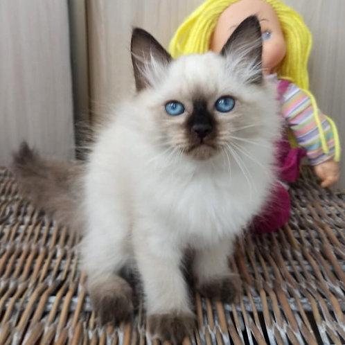 97 Wassaby   Siberian female kitten