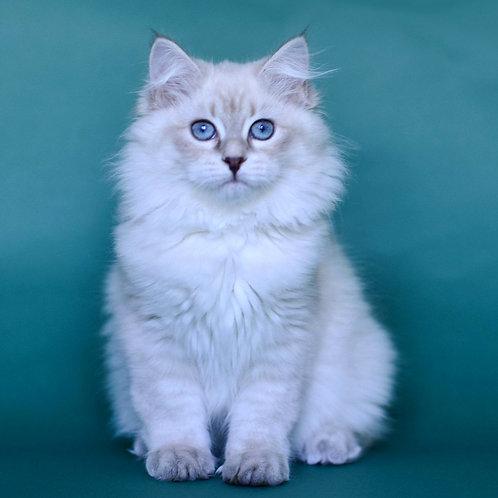 295 Elizabeth Quin     Siberian female kitten