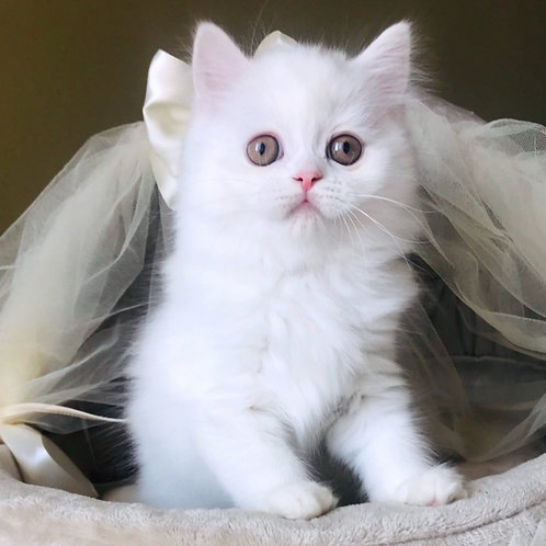964 Seraphim  Scottish straight longhair male kitten