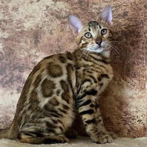 235 Erin  purebred Bengal female kitten