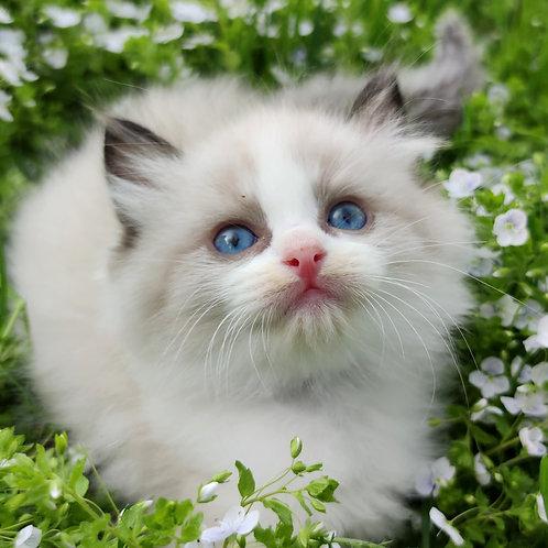 143 Randolf    Ragdoll male kitten