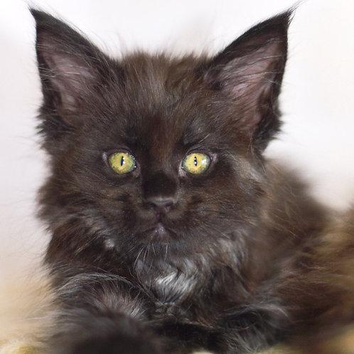 489 Pantera  Maine Coon female kitten