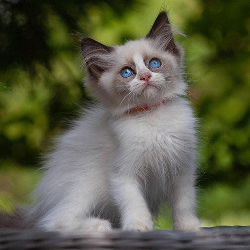 250 Balli    Ragdoll female kitten