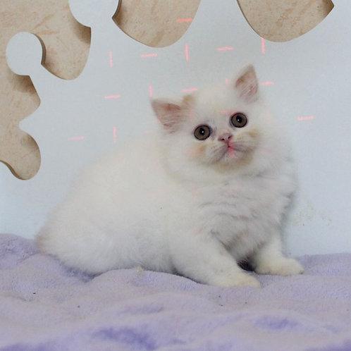 430 Zirka      Scottish straight longhair female kitten